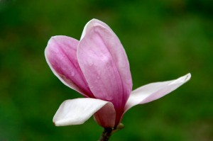 magnolia flowers flowering in early spring in china